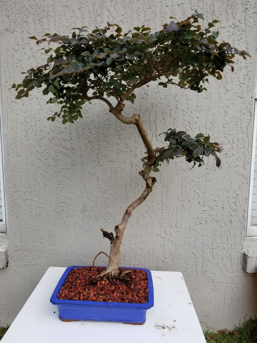 Bruno Family Bonsai Sharing From Our To Yours Wiring Maple So I Still Have Minor Clean Up And The Tree Was Really Root Bound It Took A Lot Of Cutting But Here Is Second Round Soon Some